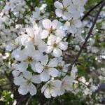 Kotipihan kirsikkapuu kukkii joka vuosi aina yhtä valkoisenaan/ Nina Linnakylä