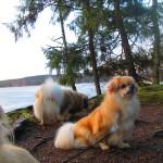 Koirat Lastujärven rannalla/ Tiina Hirvonen