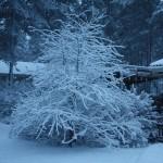 Kotipihan kirsikkapuu talvella/ Nina Linnakylä