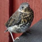 Mallinkaisten angry bird/ Hannu Lehto