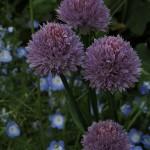 Ruohosipuli kukkapenkin koristeena/ Anna Saarimaa