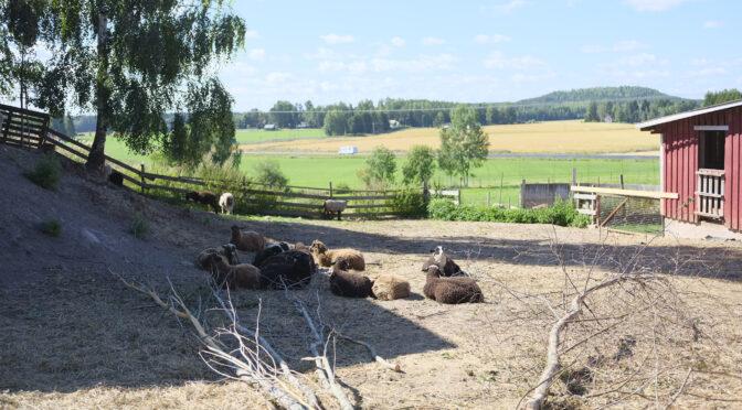 Heinäjoelta löytyy pieni lammaspuoti