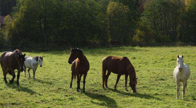 Koivuniemen talli tarjoaa monipuolisia hevoselämyksiä