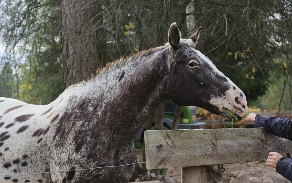 Hevonen tarhassa.