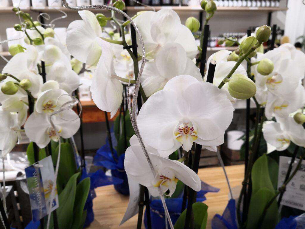 Valkoiset orkideat